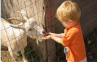 Little boy feeding a goat