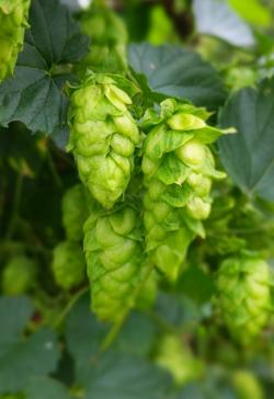 fresh hop in Iowa field