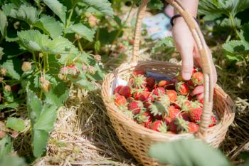 A basket full of Strawberries at The Berry Basket Farm.